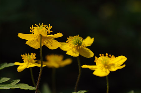 buschwindröschen gelb